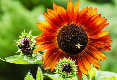 Sunflower – Velvet Queen