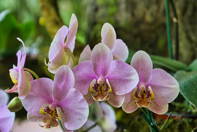 Costa Rica Orchids on a Tree