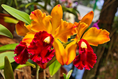 Tropical Red Orchids from Costa Rica