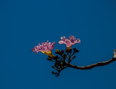 Pink Magnolia Trees with a blue sky