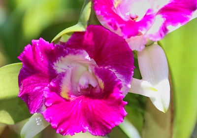 Tropical Costa Rica Orchid Flower