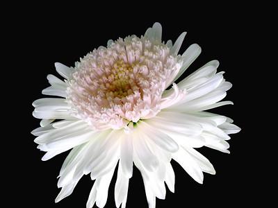 Pompom Chrysanthemum