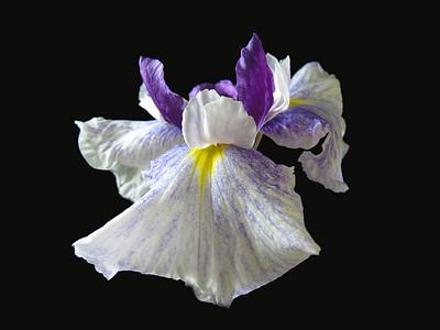 Japanese Iris