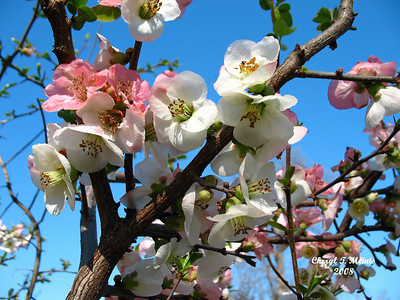 Memphis Botanic Gardens, Tennessee (Cherry Blossoms)
