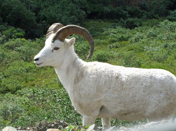Denali National PPark, Alaska (Dall Sheep)