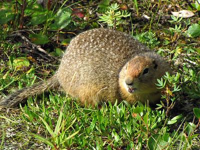 Denali National Park, Alaska (Arctic Ground Squirrel)