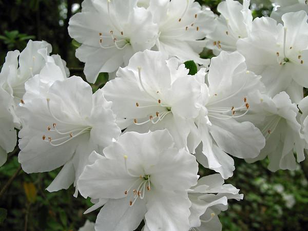 Azalea (7)