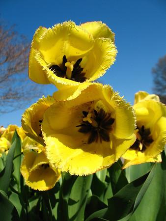 Tulip (5)