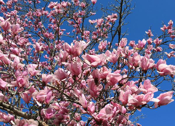 Tulip Magnolia (3)