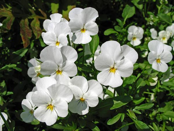 Violas (3)