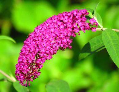 Butterfly Bush (2)
