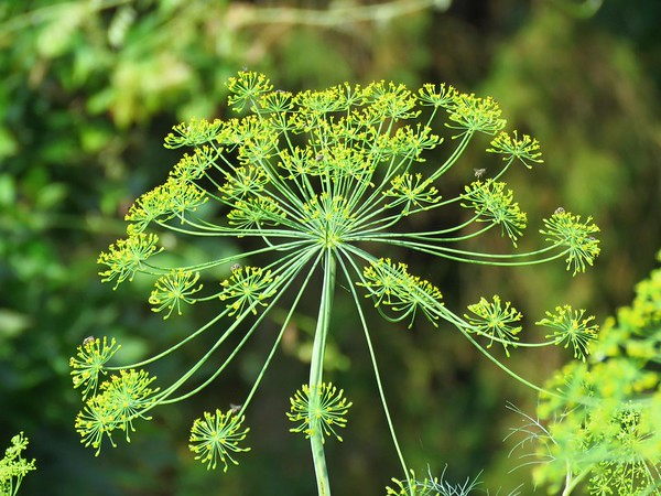 Dill (2)