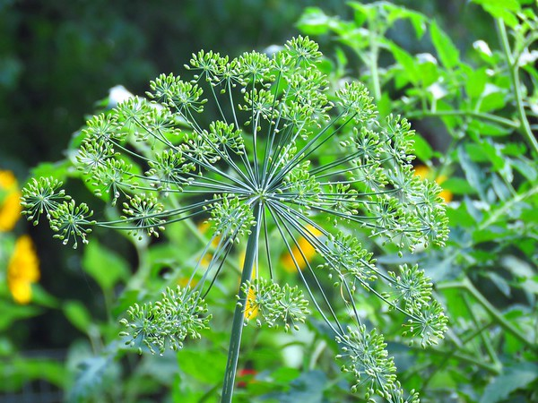 Dill (1)