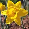 Daffodil (11)