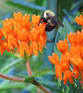 Butterfly Bush (3)