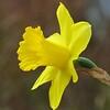 Daffodil (9)