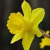Daffodil (10)