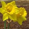 Daffodil (3)