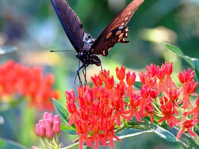 Butterfly Bush (1)
