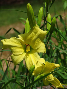 Day Lily (17)