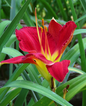 Day Lily (11)