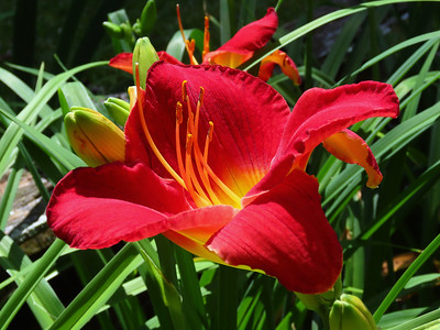 Day Lily (13)