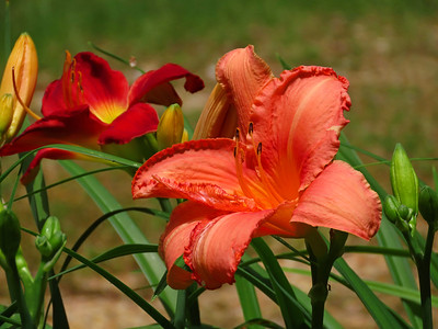 Day Lily (22)