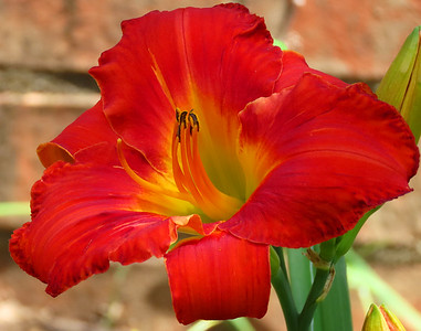 Day Lily (7)