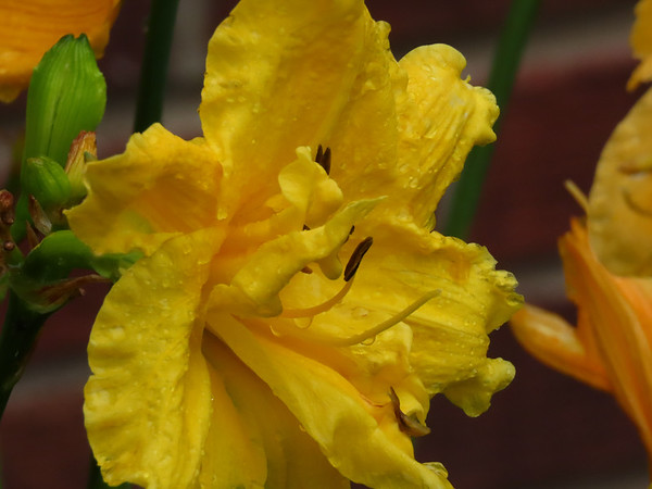 Day Lily (15)