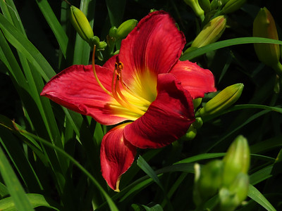 Day Lily (1)