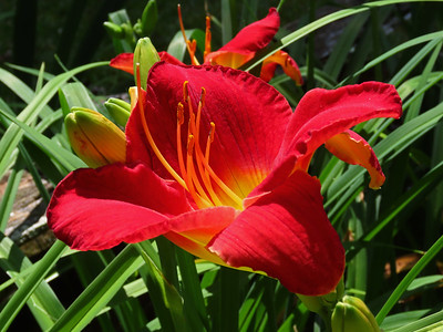 Day Lily (9)