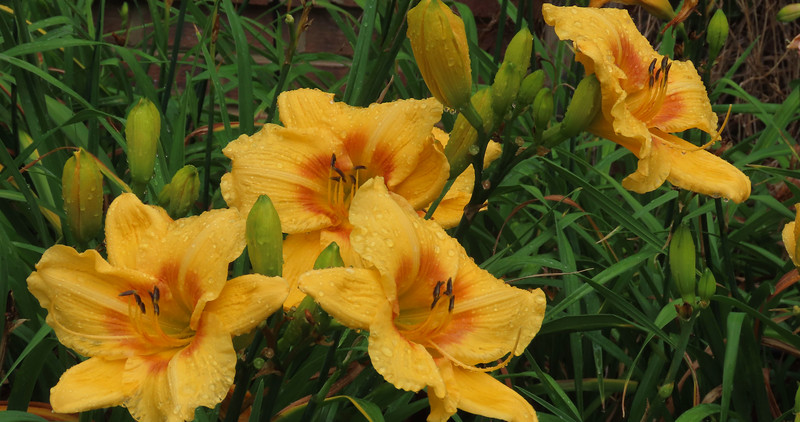 Day Lily (14)