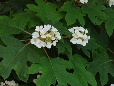 Oakleaf Hydrangea (2)