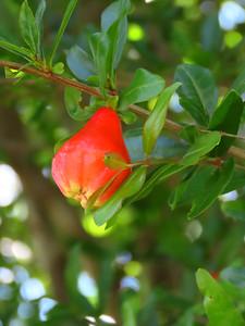 Pomegranate (1)