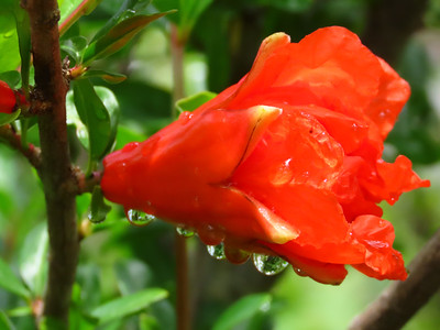 Pomegranate (2)