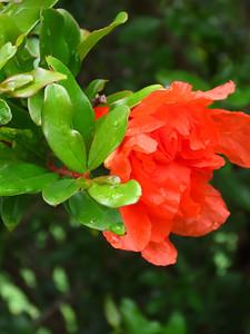 Pomegranate (3)