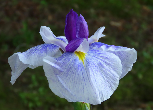 Japanese Iris (2)