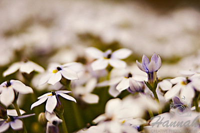 A close-up shot of tiny white and purple flowers in cluster.  © Copyright Hannah Pastrana Prieto