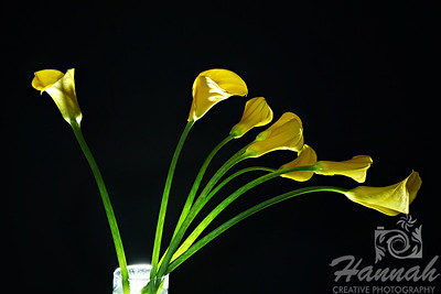 """Yellow Calla Lilies on a Vase"""