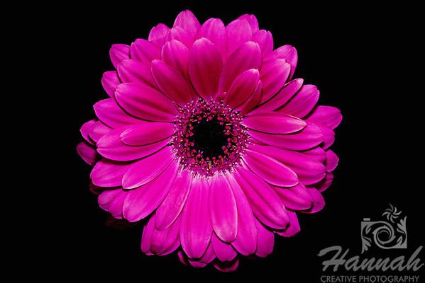 A macro shot of a small pink daisy flower  © Copyright Hannah Pastrana Prieto