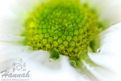 A macro shot of a small white daisy flower with water droplets. Shot with the Lensbaby composer with the sweet 35 optic and the 8mm macro converter attached.  © Copyright Hannah Pastrana Prieto