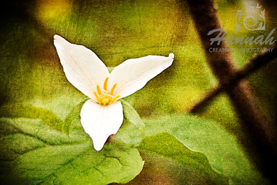 A close-up shot of a white wildflower found in the forest. Shot with the Lensbaby Composer with Edge 80 optic  © Copyright Hannah Pastrana Prieto
