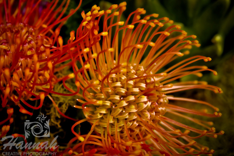 "Close-up of a tropical orange and yellow flower called Pincushion Protea ""Sunburst"", those are most common and well-known tropical flowers grown in Hawaii.  © Copyright Hannah Pastrana Prieto"