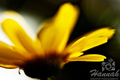 A close-up shot of yellow petals from a sunflower using creative blur.  © Copyright Hannah Pastrana Prieto