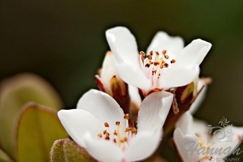 A macro shot of tiny white flowers.  © Copyright Hannah Pastrana Prieto