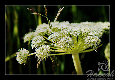 A close-up shot of a green and white wild flower found in the mountains composed of some clusters of tiny flowers with black framed border  © Copyright Hannah Pastrana Prieto