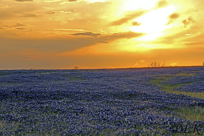 Bluebonnets Sunset