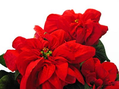 Rose Poinsettia (1)