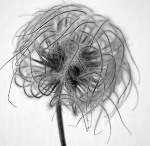Clematis Centers BW (1)