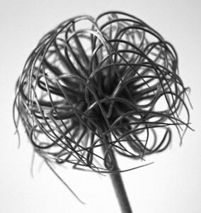 Clematis Centers BW (4)